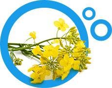 kwiaty rzepaku w niebieskim okrągłym obramowaniu
